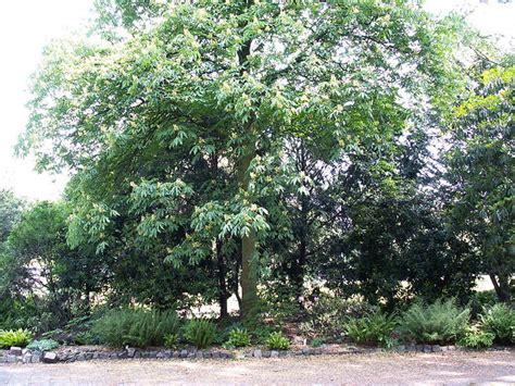 aesculus pavia aesculus pavia southern tree seeds buckeye