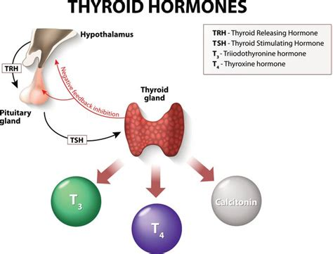 carbohydrates hormones is low carb bad for hypothyroidism