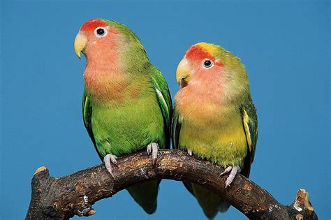 For Lovebird facts about lovebirds for pet owners