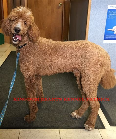 standard poodle puppies for sale ohio standard poodle puppies for sale ohio poodle puppy breeder oh