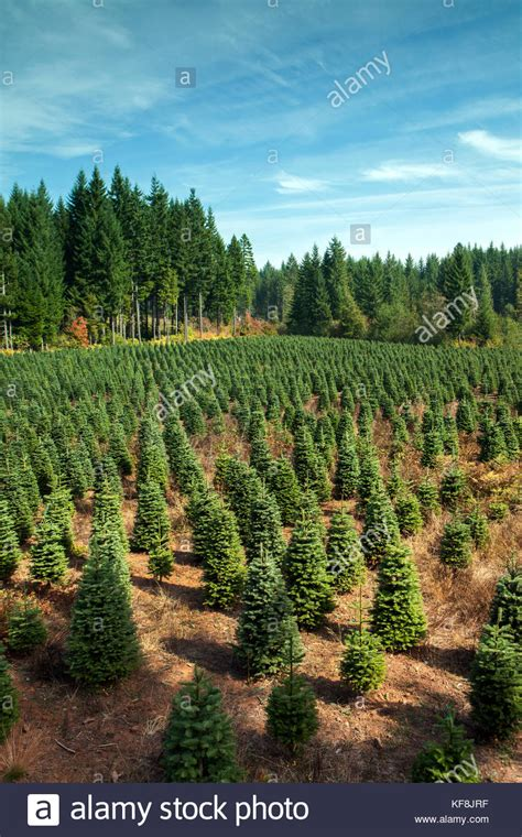 christmas tree farms near mt hood tree farms stock photos tree farms stock images alamy