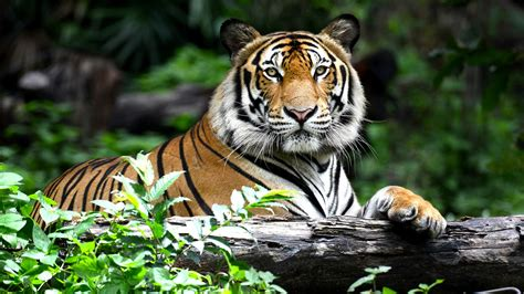 australian accuses tiger temple of supplying black