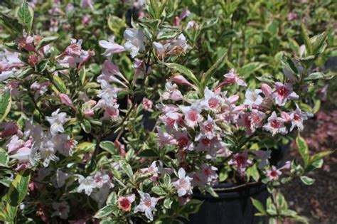 pin by hickory hollow nursery and garden center on shrubs pinterest
