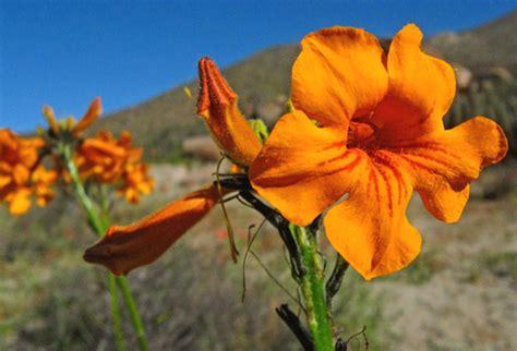 imagenes de flores de la zona norte el florecer del desierto desierto florido norte de