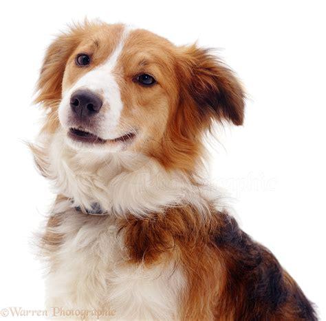 collie dogs portrait of border collie photo wp04452