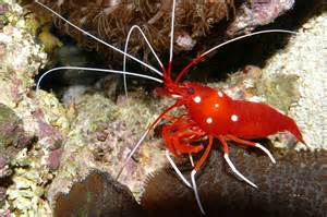 colorful shrimp abcs of animal world world s most beautiful colorful and