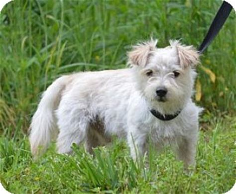 shih tzu west highland terrier mix chalfont pa westie west highland white terrier shih tzu mix meet a for