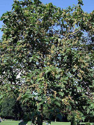 Chinesischer Blauglockenbaum Kaufen by Blauglockenbaum