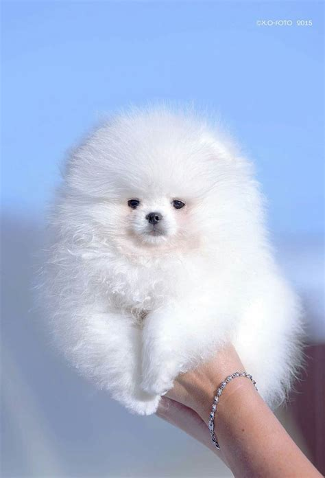 marshmallow dog 25 best ideas about teacup dog breeds on pinterest