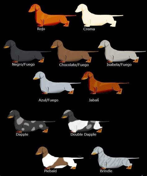 dachshund colors dachshunds colors for those of you that think they only