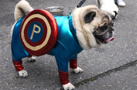 pug research image gallery pug america