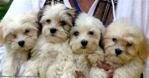 craigslist puppy scams help your friends beware the dangers of puppy scams the animal rescue site