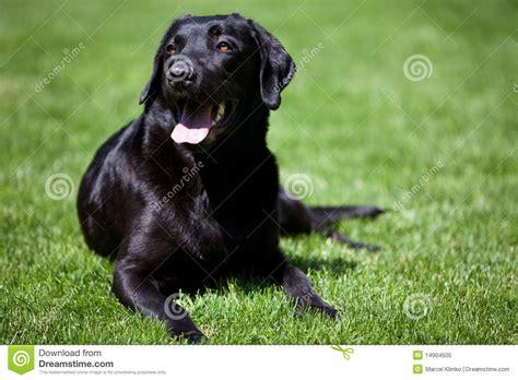 free black lab puppies black labrador retriever royalty free stock photo image 14904605