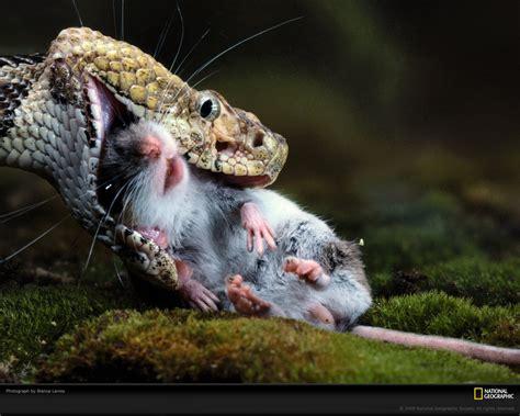 film ular makan harimau dunia haiwan sains tahun 2