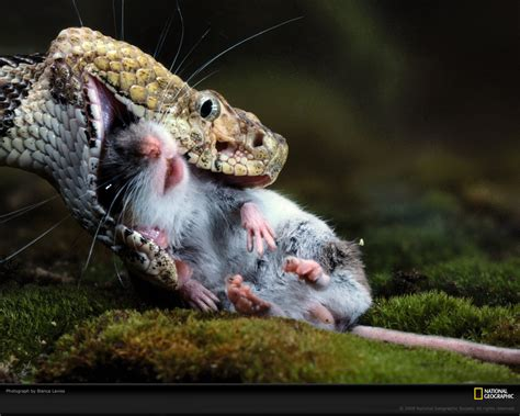 pictures  snake eat mouse   snake world