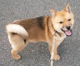 Dog Cute Hokkaido Dog Photo And Wallpaper Beautiful Cute