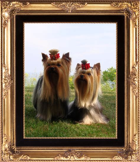 akc yorkie puppies for sale in indiana home of luvstruck terriers in michigan breeders of quality yorkie puppies