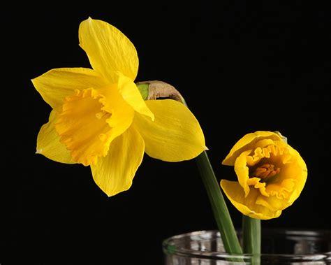 fiore narciso foto foto gratis giunchiglia narciso fiore giallo immagine