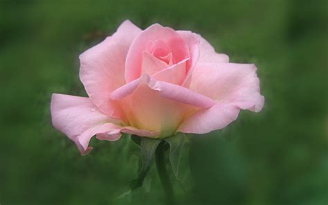 pink roses widescreen wallpapers xpx