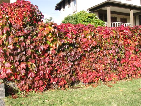 which vines will best cover a fence helpfulgardener com
