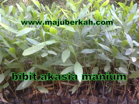 Bibit Acacia Mangium bibit akasia bibit tanaman akasia jual bibit akasia bibit akasia murah