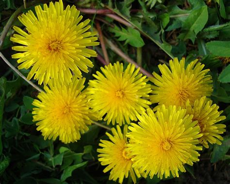 Dandy Dandylion Dandylion Nature Flowers Hd Desktop