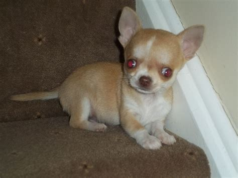 chihuahua puppies for sale in louisiana teacup applehead chihuahua puppies for sale in louisiana