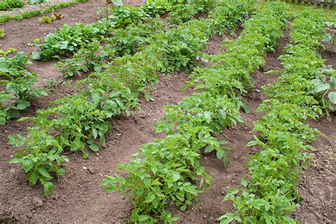 backyard potatoes rows of potato plants in patch plant flower stock
