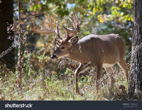 how to gut a buck in the woods big white buck deer walking through the woods