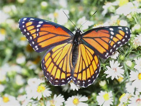 of a butterfly butterfly wallpaper butterflies wallpaper 604264 fanpop