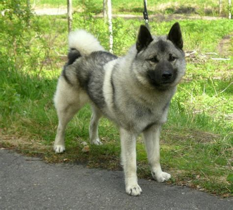 elkhound puppy elkhound puppies rescue pictures information temperament