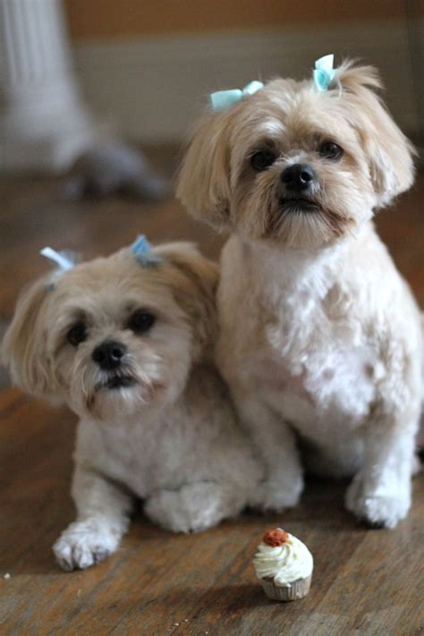 shichon with long hair 88 best images about dogs shih tzu bichon shichon