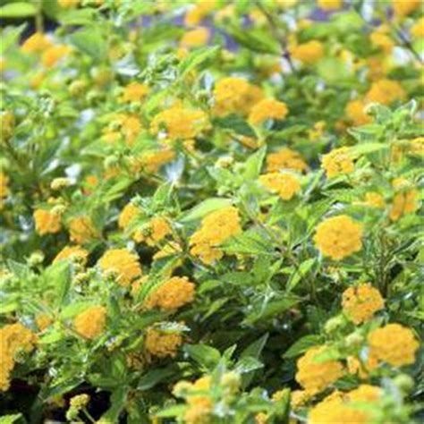 do seeds need light to germinate light requirements when germinating marigold seeds home