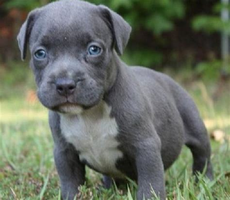 grey pitbull puppies for sale grey pitbull puppy with blue pitbull puppies