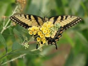 Kentucky State Flower Pictures - delaware state butterfly tiger swallowtail butterfly