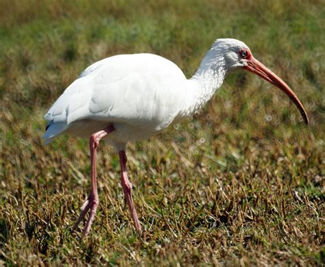 white ibis new jersey bird photos