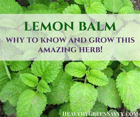 where to buy herb plants lemon balm an herb worth knowing and growing