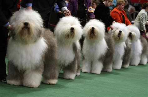 puppy shows the westminster kennel club show photo essays time