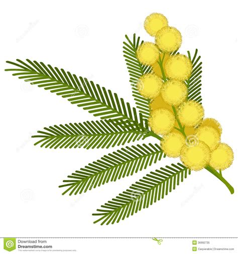 mimosa clipart mimosa flower stock vector illustration of inflorescence