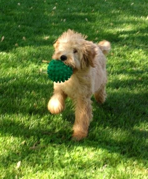 goldendoodle puppy problems goldendoodles for sale crowd the dutiful