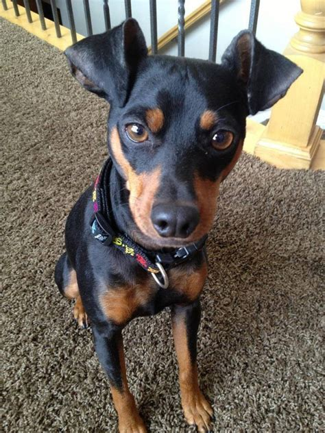 min pin 17 best images about min pin on chihuahuas miniature and minis