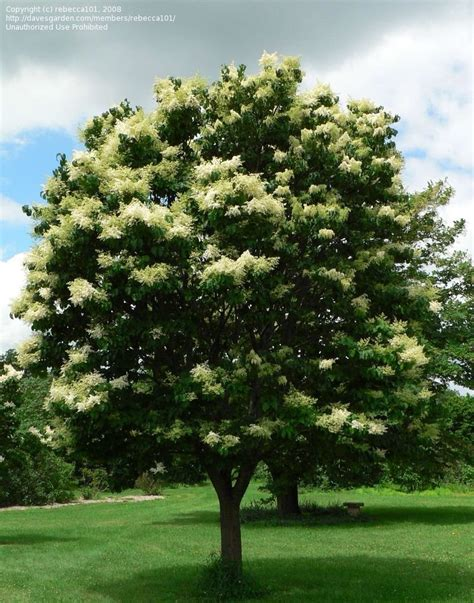 lilac tree information plantfiles pictures japanese tree lilac summer snow
