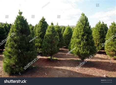 28 best christmas tree farms in southern california el