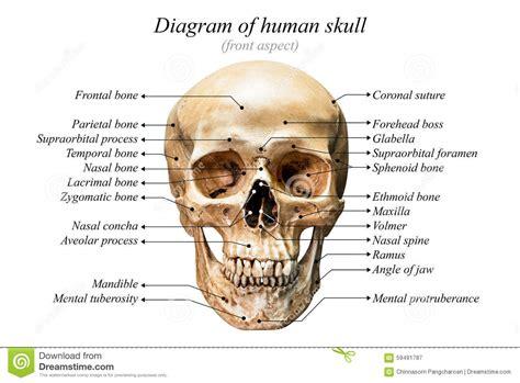 human skull diagram human anatomy diagram www imgkid the image