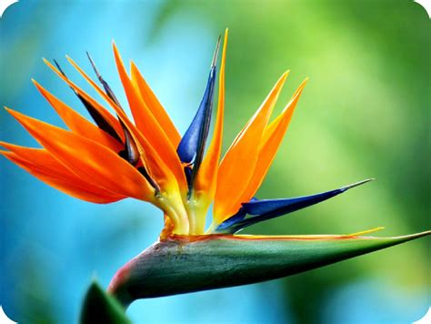 floralife bird of paradise