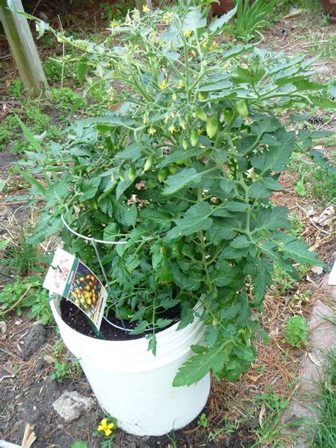 container gardening peas my iowa container gardening peas in a pot