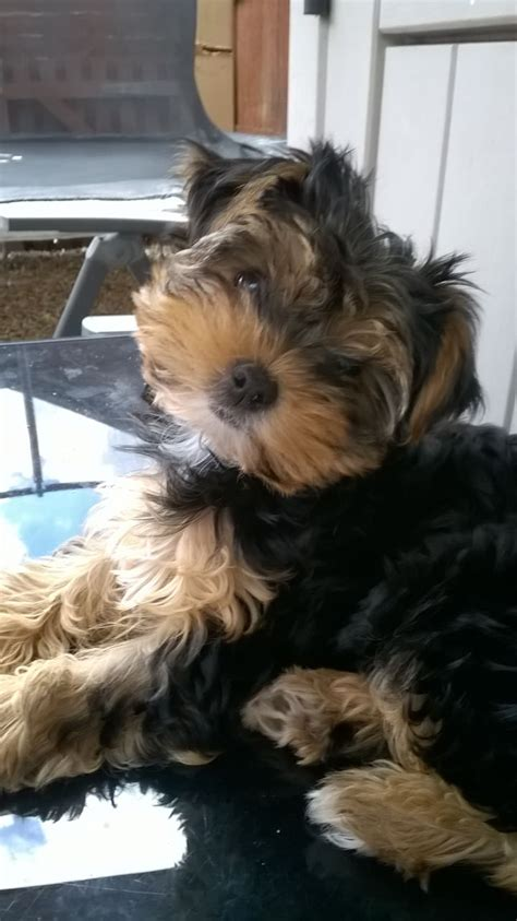 15 week puppy 15 week puppy for sale wantage oxfordshire pets4homes