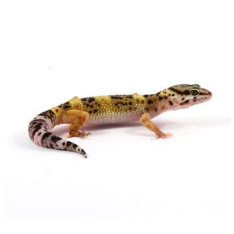 alimentazione geco geco leopardino vendita anguana herpetology
