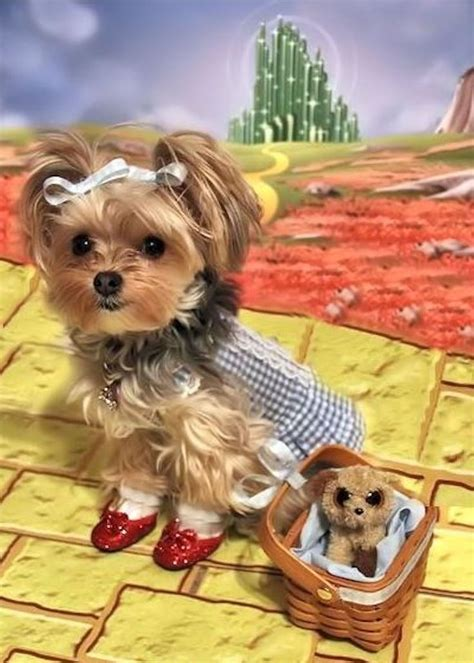 my yorkie smells 1778 best images about all things yorkie on terrier