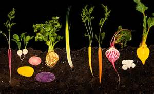 vegetables with roots november remembering voltaire beings akin